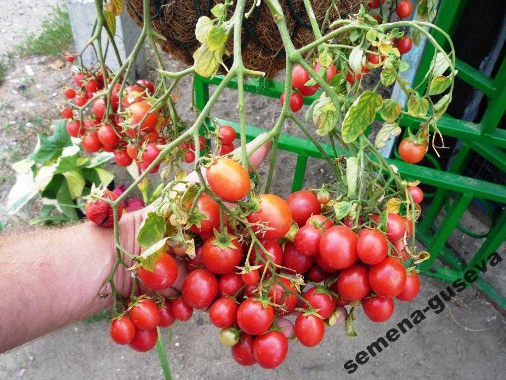 nizkoroslye-pomidory-foto-video-sorta-dlya-vyrashhivaniya-doma-i-v-teplitse-10