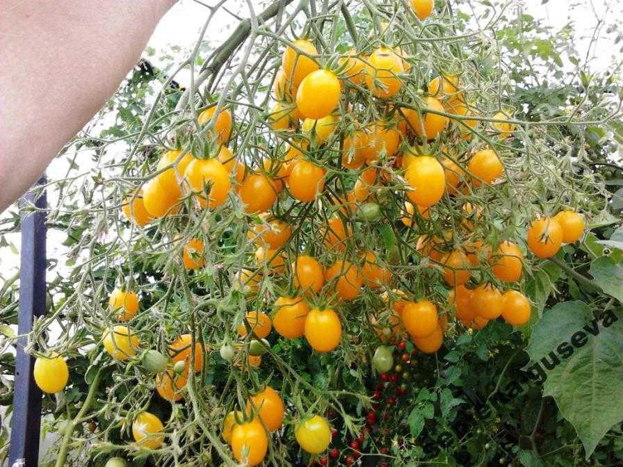 pomidory-cherri-foto-video-luchshie-sorta-opisanie-lichnyj-opyt-vyrashhivaniya-47