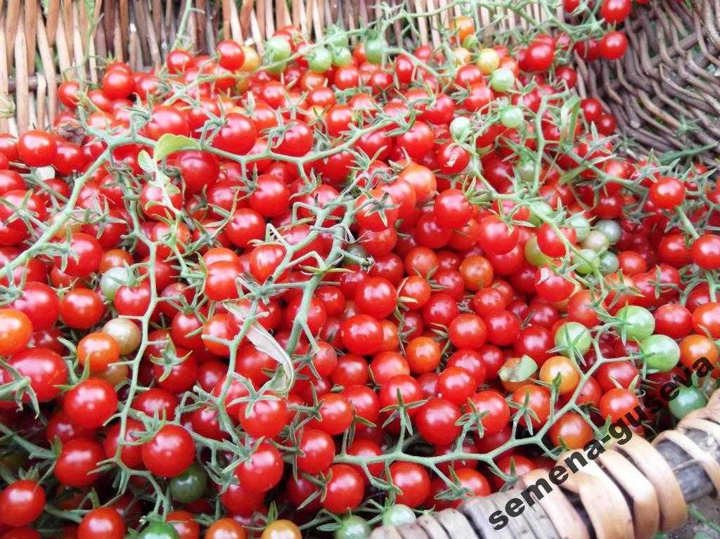 pomidory-cherri-foto-video-luchshie-sorta-opisanie-lichnyj-opyt-vyrashhivaniya-49