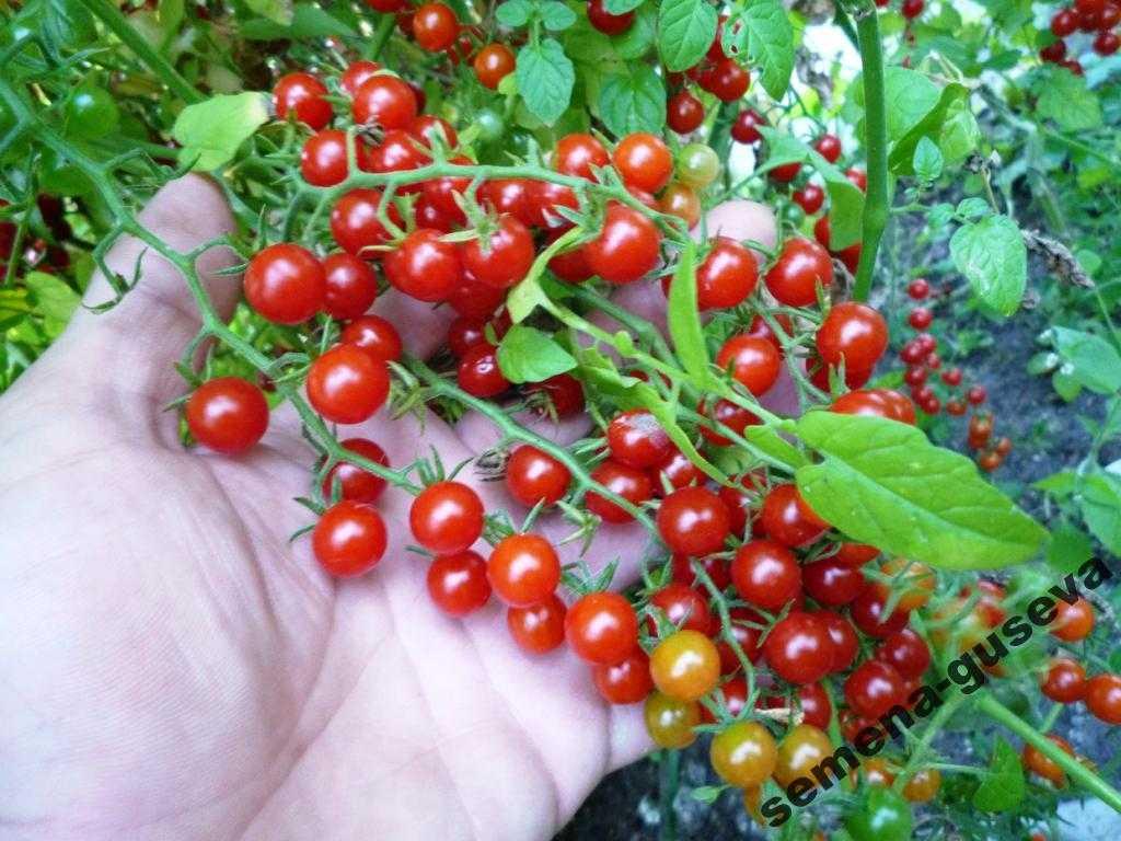 pomidory-cherri-foto-video-luchshie-sorta-opisanie-lichnyj-opyt-vyrashhivaniya-50
