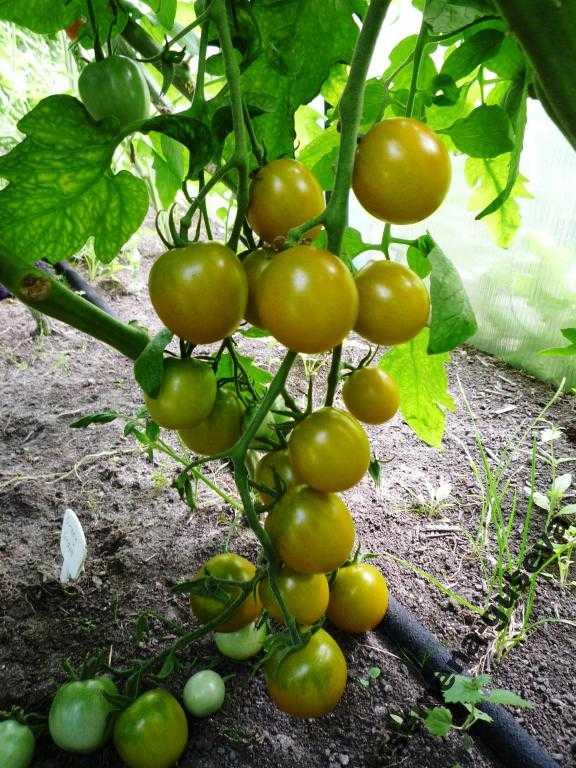 pomidory-cherri-foto-video-luchshie-sorta-opisanie-lichnyj-opyt-vyrashhivaniya-65