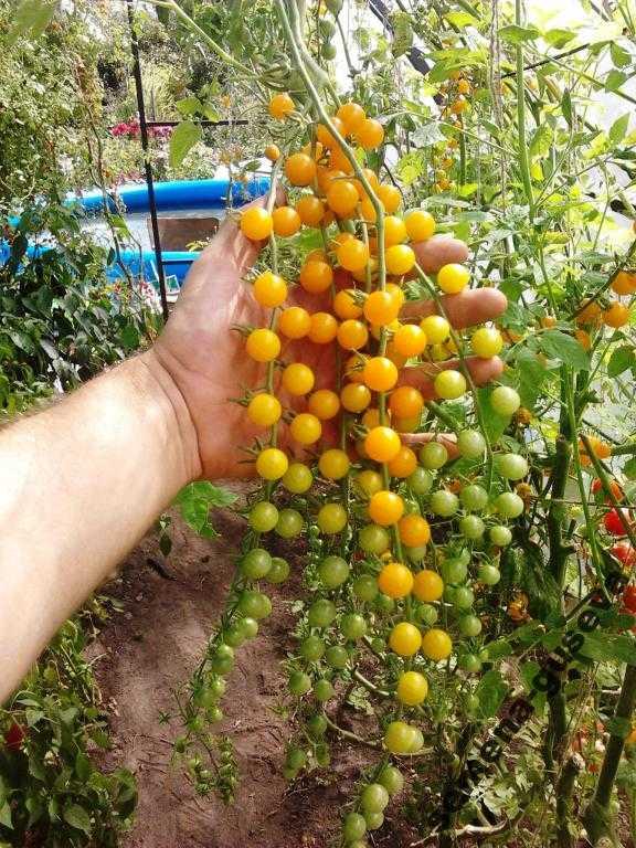 pomidory-cherri-foto-video-luchshie-sorta-opisanie-lichnyj-opyt-vyrashhivaniya-34