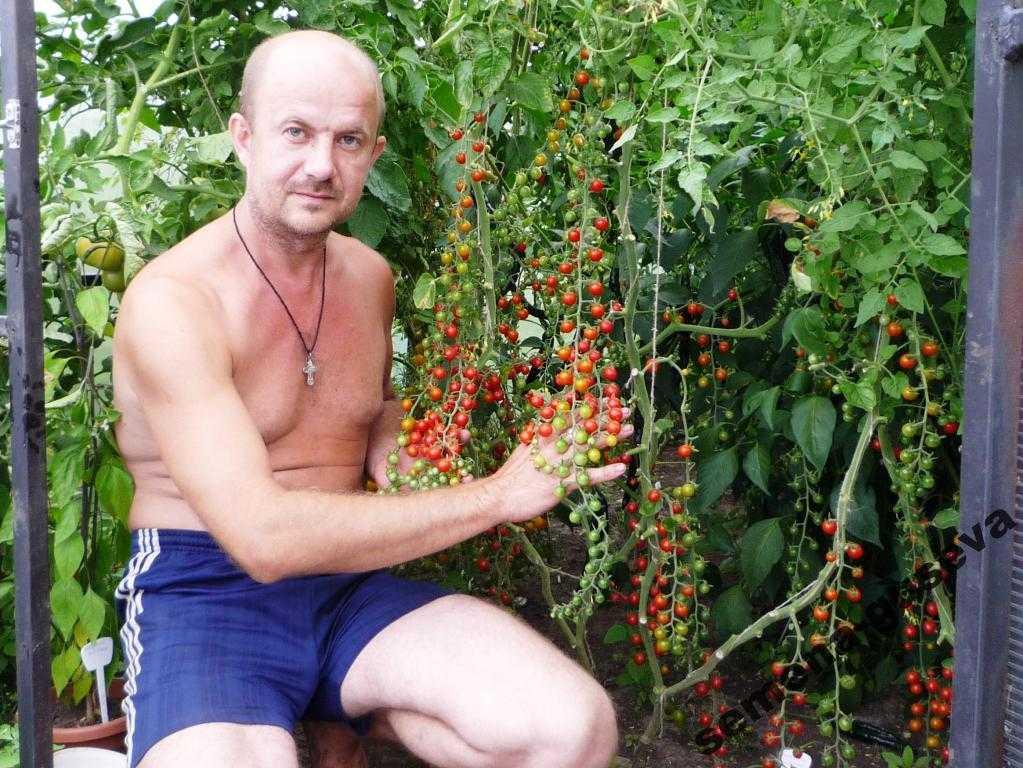 pomidory-cherri-foto-video-luchshie-sorta-opisanie-lichnyj-opyt-vyrashhivaniya-56