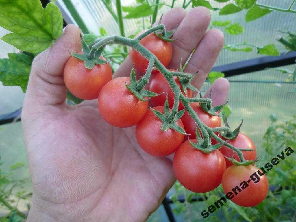 pomidory-cherri-foto-video-luchshie-sorta-opisanie-lichnyj-opyt-vyrashhivaniya-35
