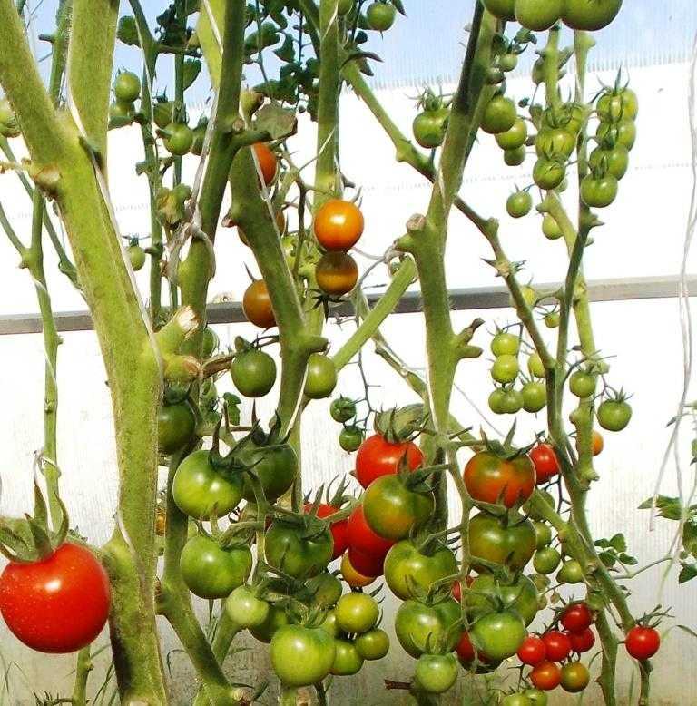 pomidory-cherri-foto-video-luchshie-sorta-opisanie-lichnyj-opyt-vyrashhivaniya-23