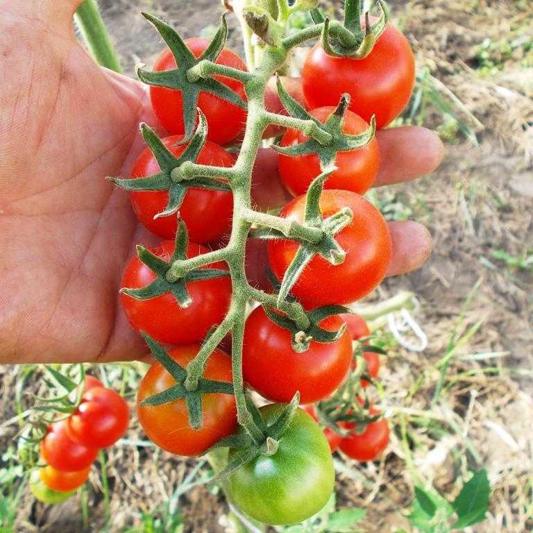 pomidory-cherri-foto-video-luchshie-sorta-opisanie-lichnyj-opyt-vyrashhivaniya-24