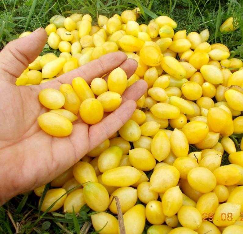 pomidory-cherri-foto-video-luchshie-sorta-opisanie-lichnyj-opyt-vyrashhivaniya-21