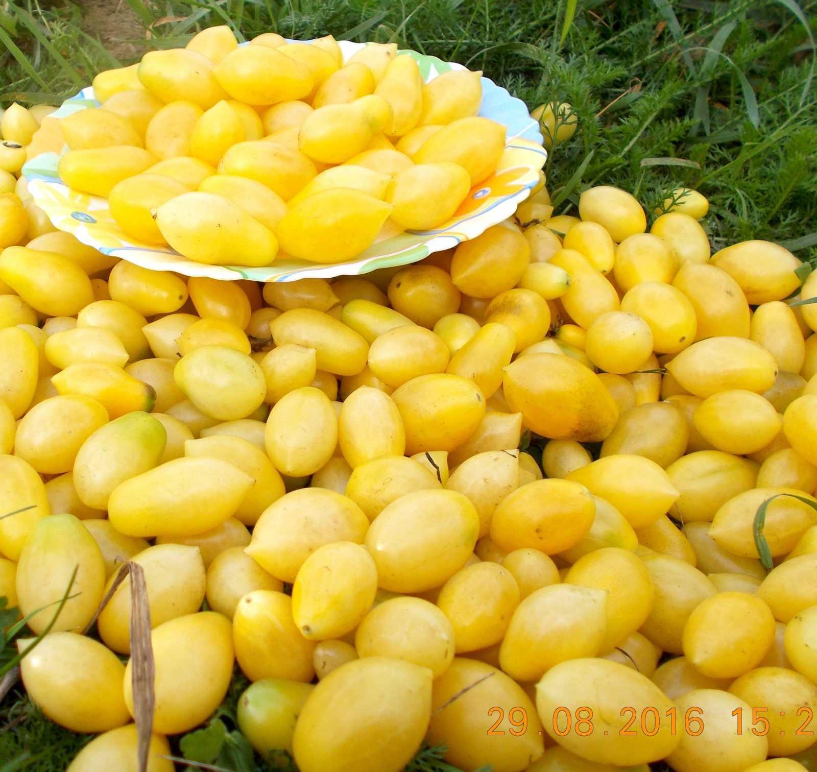 pomidory-cherri-foto-video-luchshie-sorta-opisanie-lichnyj-opyt-vyrashhivaniya-22
