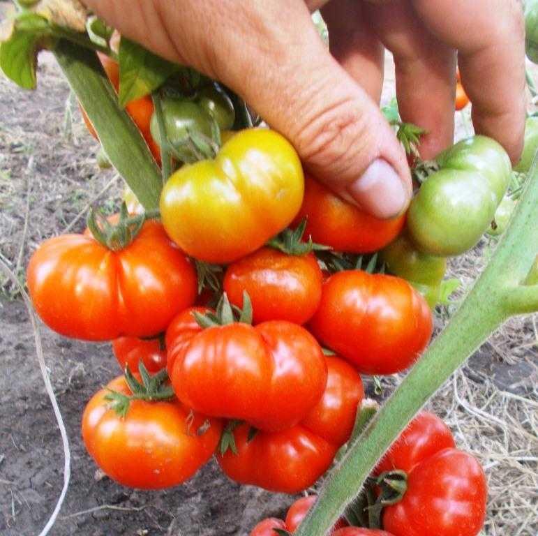 pomidory-cherri-foto-video-luchshie-sorta-opisanie-lichnyj-opyt-vyrashhivaniya-75