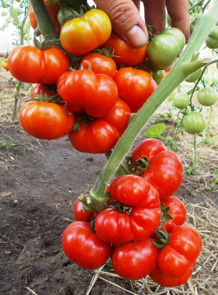 pomidory-cherri-foto-video-luchshie-sorta-opisanie-lichnyj-opyt-vyrashhivaniya-76