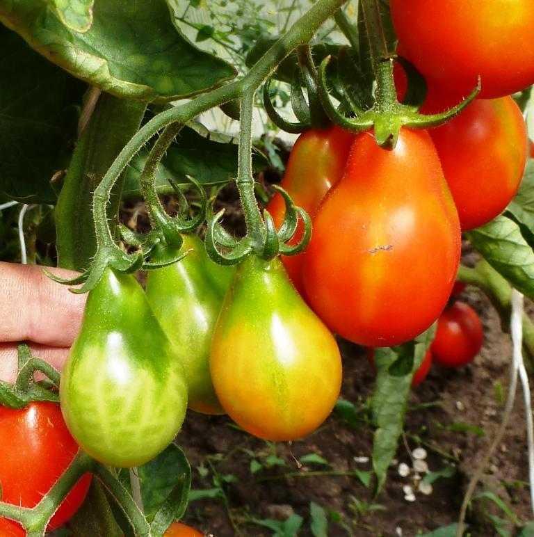 pomidory-cherri-foto-video-luchshie-sorta-opisanie-lichnyj-opyt-vyrashhivaniya-100