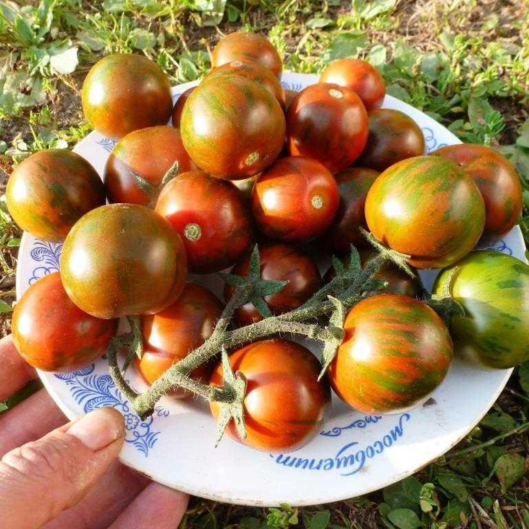 pomidory-cherri-foto-video-luchshie-sorta-opisanie-lichnyj-opyt-vyrashhivaniya-27