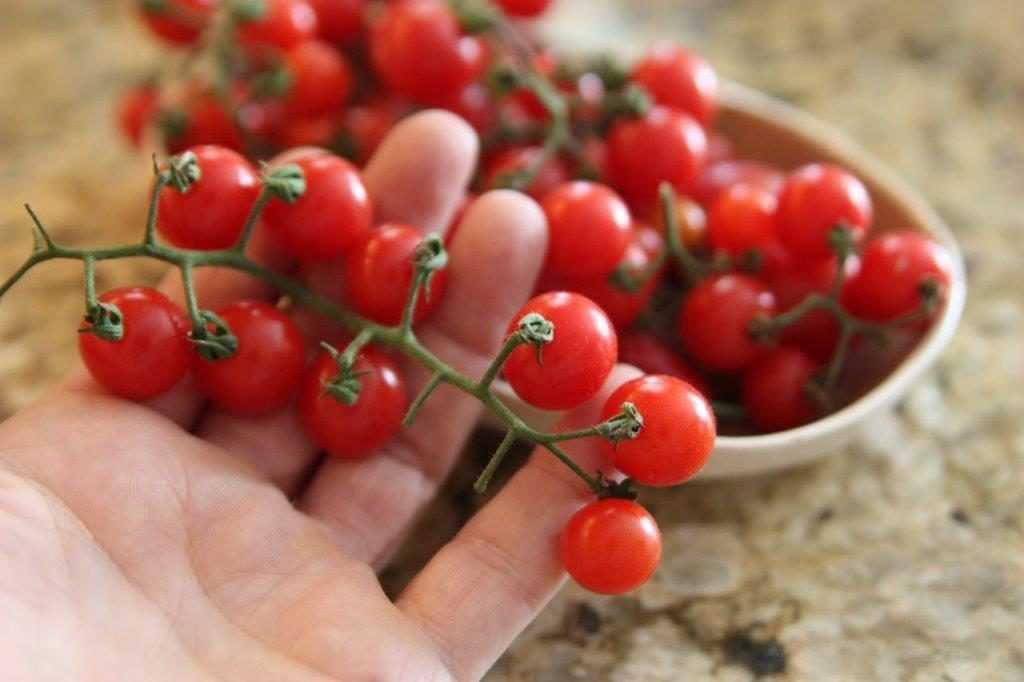 nizkoroslye-pomidory-foto-video-sorta-dlya-vyrashhivaniya-doma-i-v-teplitse-1