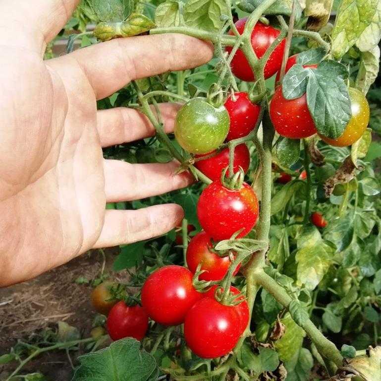nizkoroslye-pomidory-foto-video-sorta-dlya-vyrashhivaniya-doma-i-v-teplitse-3
