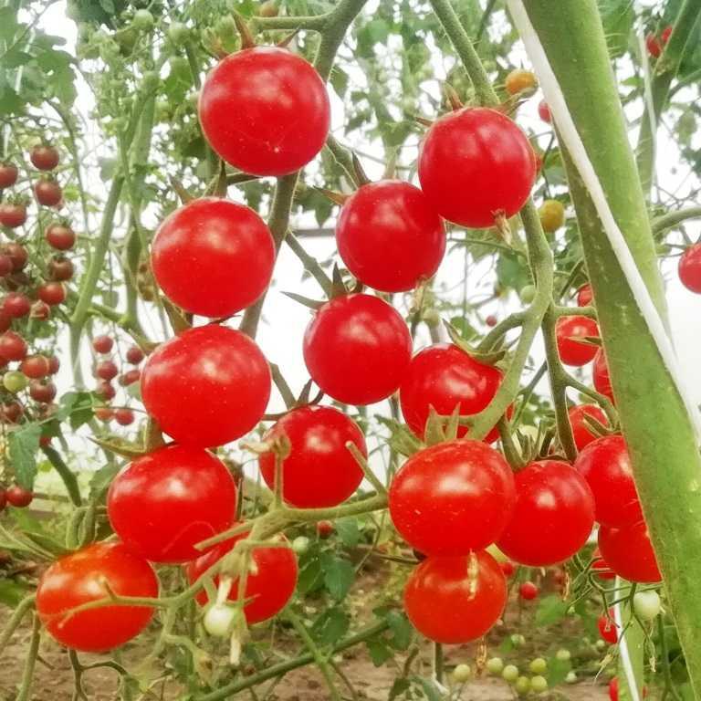 pomidory-cherri-foto-video-luchshie-sorta-opisanie-lichnyj-opyt-vyrashhivaniya-11