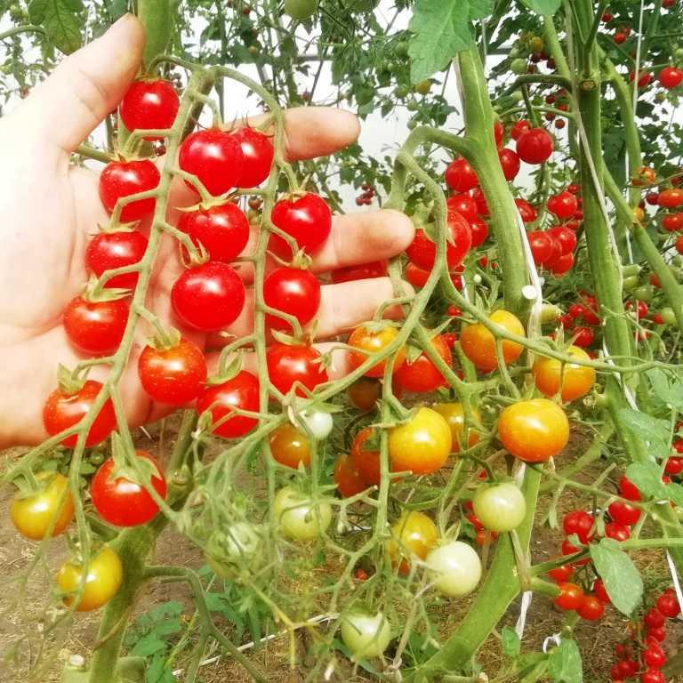 pomidory-cherri-foto-video-luchshie-sorta-opisanie-lichnyj-opyt-vyrashhivaniya-12