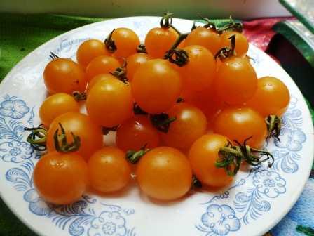 pomidory-cherri-foto-video-luchshie-sorta-opisanie-lichnyj-opyt-vyrashhivaniya-51