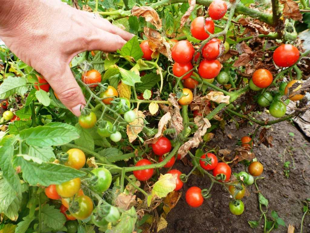 pomidory-cherri-foto-video-luchshie-sorta-opisanie-lichnyj-opyt-vyrashhivaniya-37