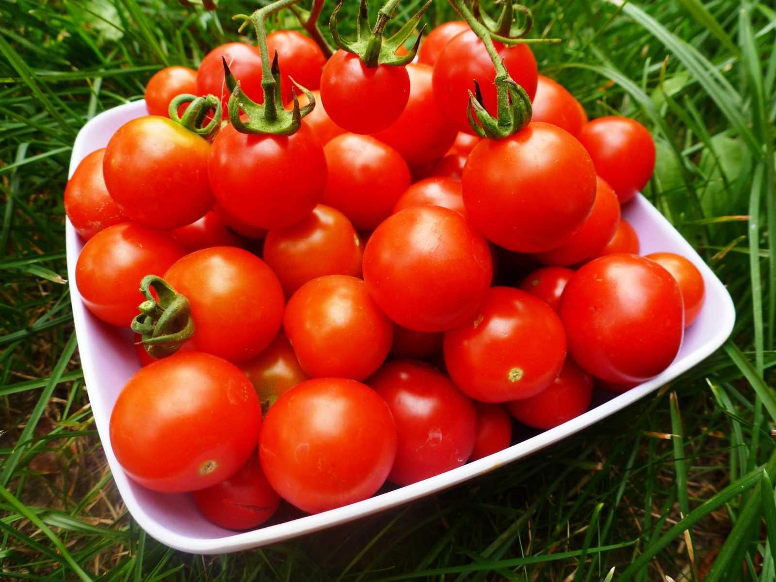 pomidory-cherri-foto-video-luchshie-sorta-opisanie-lichnyj-opyt-vyrashhivaniya-38