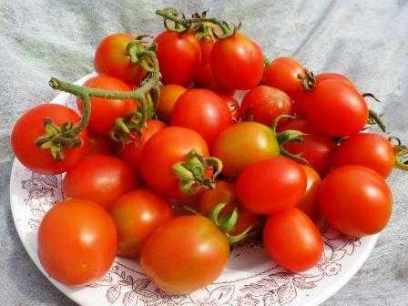 pomidory-cherri-foto-video-luchshie-sorta-opisanie-lichnyj-opyt-vyrashhivaniya-46
