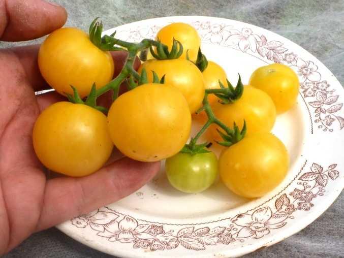 pomidory-cherri-foto-video-luchshie-sorta-opisanie-lichnyj-opyt-vyrashhivaniya-29