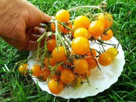 pomidory-cherri-foto-video-luchshie-sorta-opisanie-lichnyj-opyt-vyrashhivaniya-57
