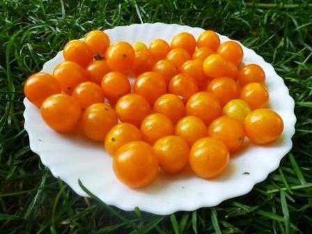 pomidory-cherri-foto-video-luchshie-sorta-opisanie-lichnyj-opyt-vyrashhivaniya-58