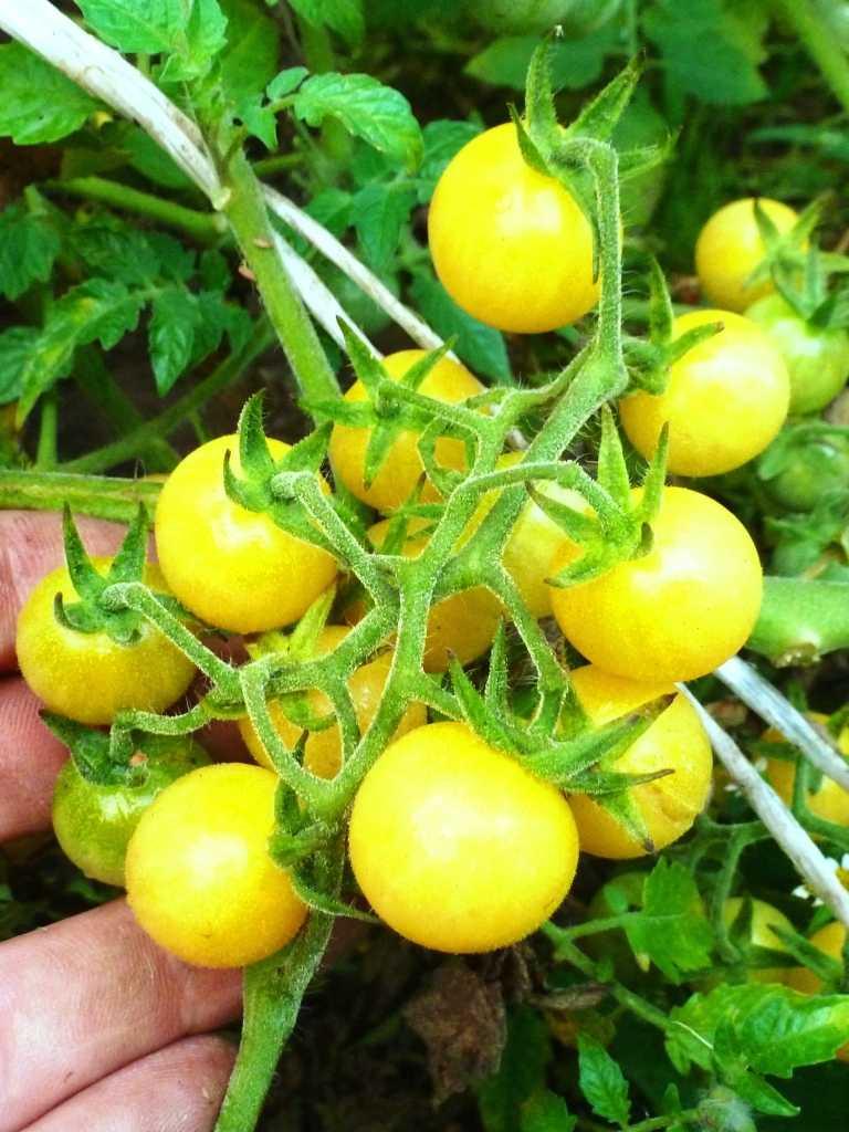 pomidory-cherri-foto-video-luchshie-sorta-opisanie-lichnyj-opyt-vyrashhivaniya-54