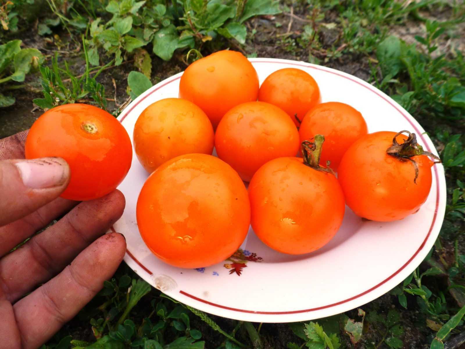 pomidory-cherri-foto-video-luchshie-sorta-opisanie-lichnyj-opyt-vyrashhivaniya-31