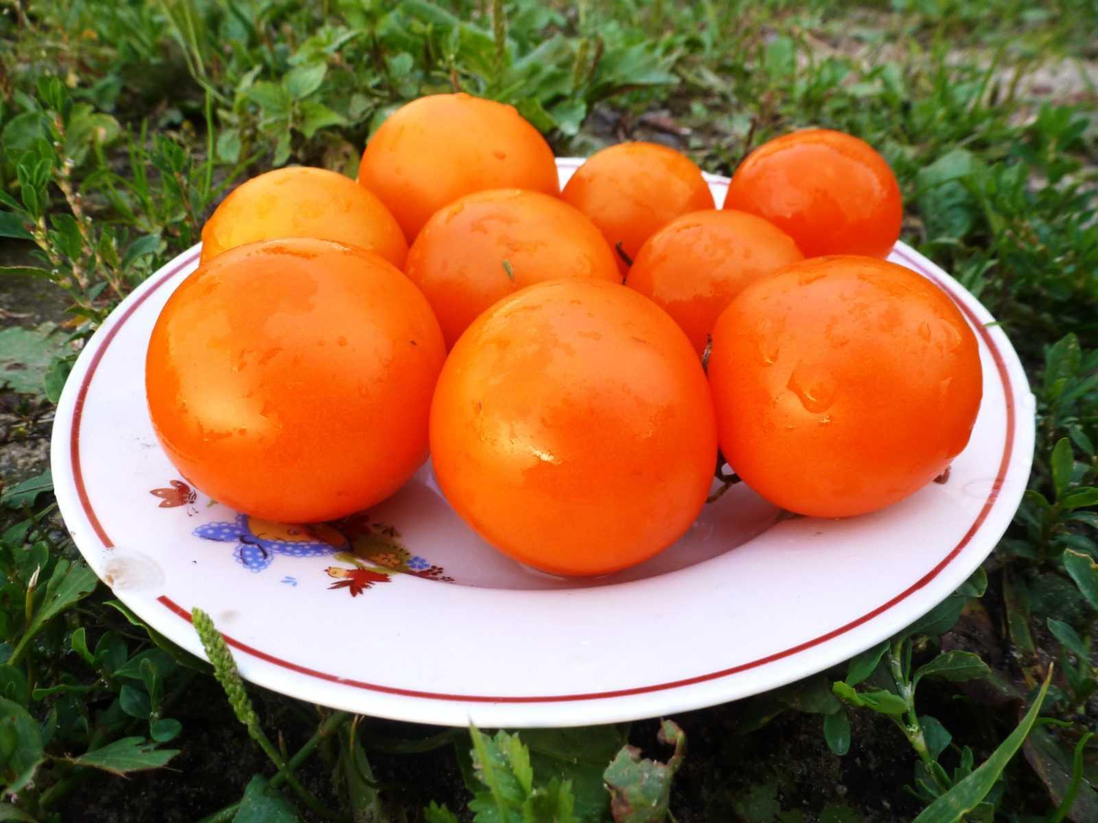 pomidory-cherri-foto-video-luchshie-sorta-opisanie-lichnyj-opyt-vyrashhivaniya-32