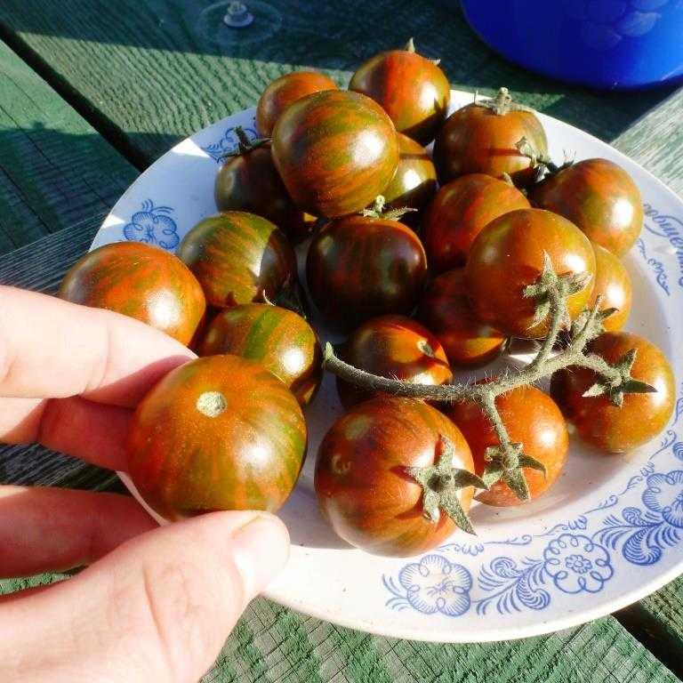 pomidory-cherri-foto-video-luchshie-sorta-opisanie-lichnyj-opyt-vyrashhivaniya-17