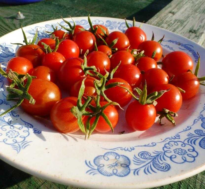 pomidory-cherri-foto-video-luchshie-sorta-opisanie-lichnyj-opyt-vyrashhivaniya-20