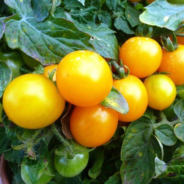 nizkoroslye-pomidory-foto-video-sorta-dlya-vyrashhivaniya-doma-i-v-teplitse-7