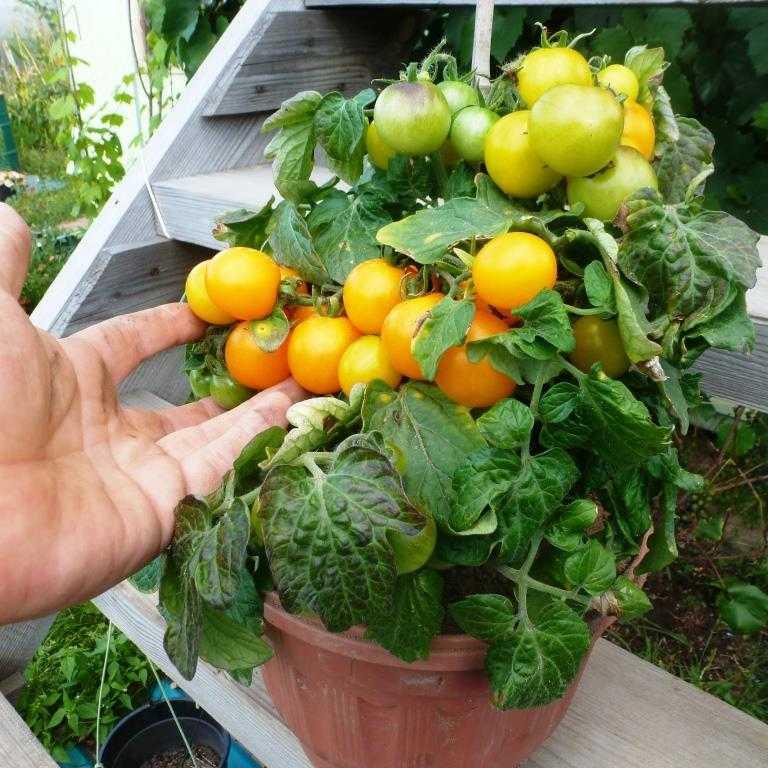 nizkoroslye-pomidory-foto-video-sorta-dlya-vyrashhivaniya-doma-i-v-teplitse-8