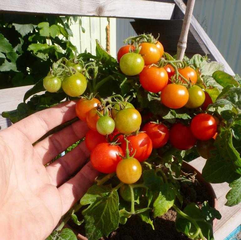 nizkoroslye-pomidory-foto-video-sorta-dlya-vyrashhivaniya-doma-i-v-teplitse-13