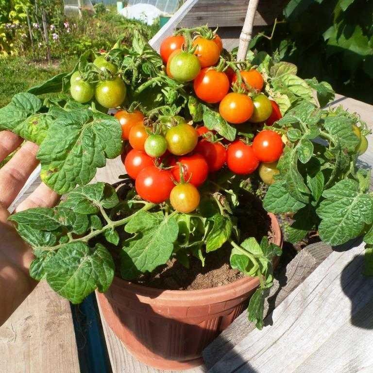 nizkoroslye-pomidory-foto-video-sorta-dlya-vyrashhivaniya-doma-i-v-teplitse-18