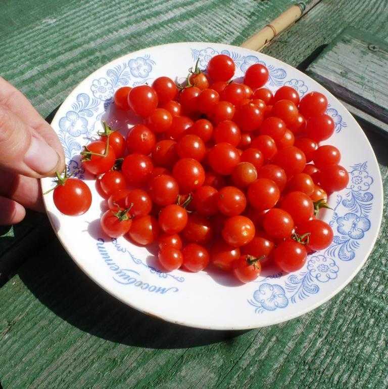 nizkoroslye-pomidory-foto-video-sorta-dlya-vyrashhivaniya-doma-i-v-teplitse-5
