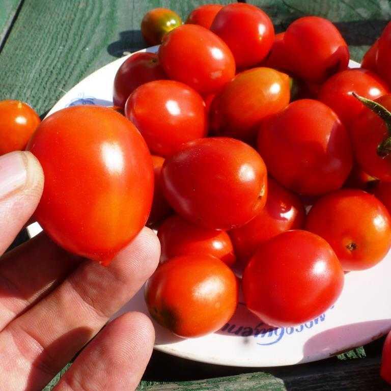 pomidory-cherri-foto-video-luchshie-sorta-opisanie-lichnyj-opyt-vyrashhivaniya-13