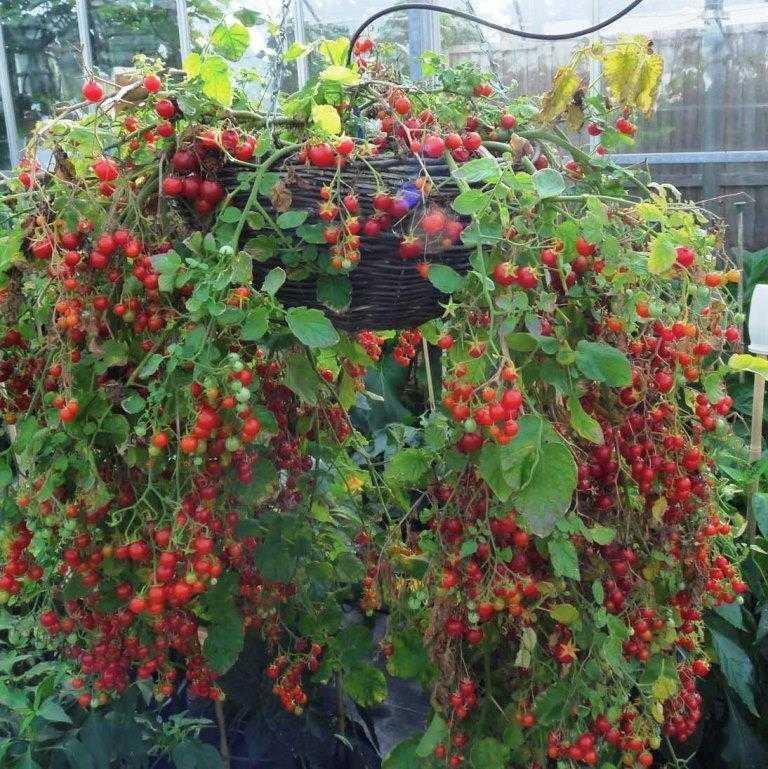 nizkoroslye-pomidory-foto-video-sorta-dlya-vyrashhivaniya-doma-i-v-teplitse-6