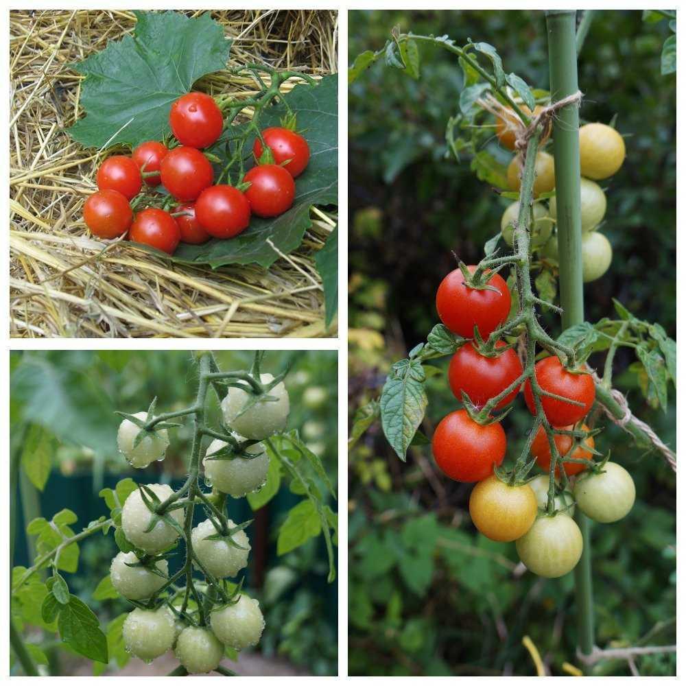 pomidory-cherri-foto-video-luchshie-sorta-opisanie-lichnyj-opyt-vyrashhivaniya-2