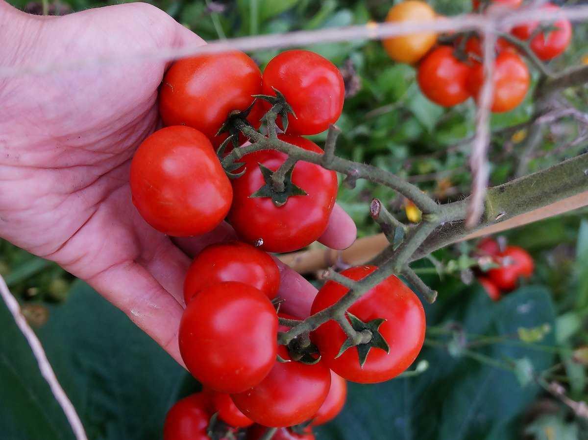 pomidory-cherri-foto-video-luchshie-sorta-opisanie-lichnyj-opyt-vyrashhivaniya-3