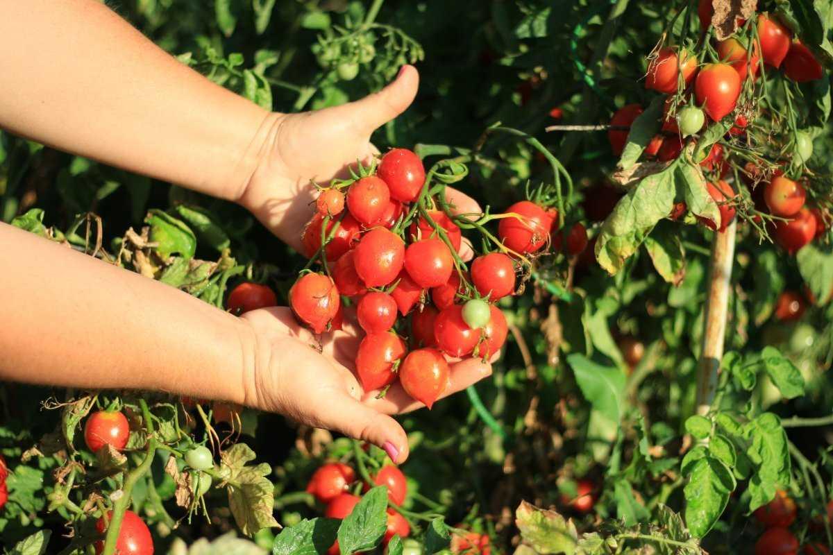 pomidory-cherri-foto-video-luchshie-sorta-opisanie-lichnyj-opyt-vyrashhivaniya-4