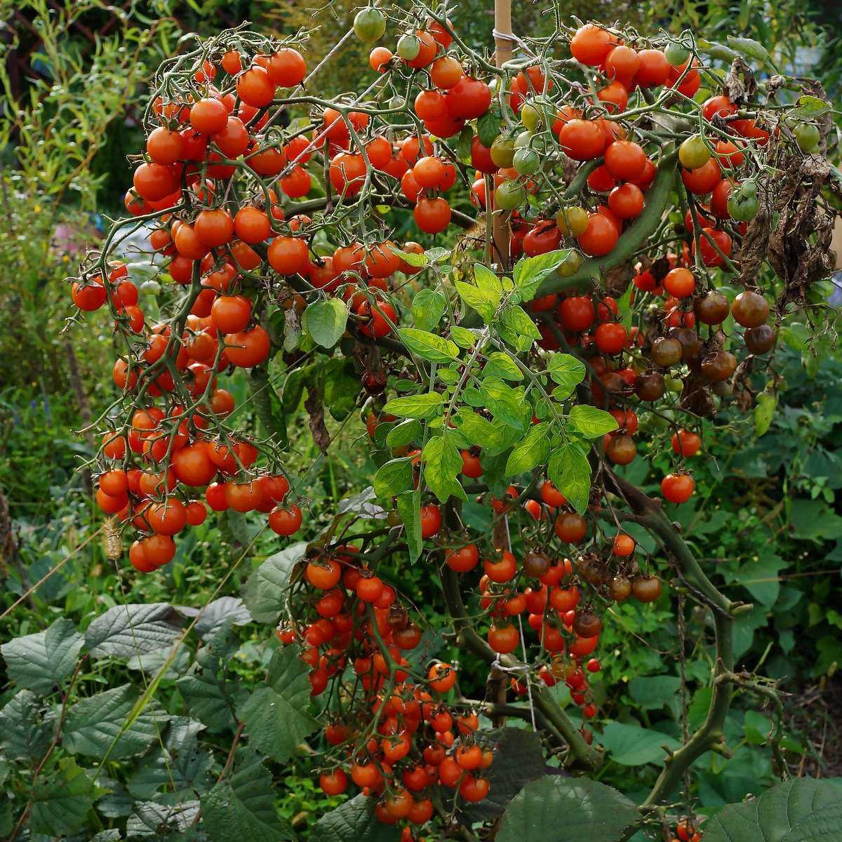 pomidory-cherri-foto-video-luchshie-sorta-opisanie-lichnyj-opyt-vyrashhivaniya-6