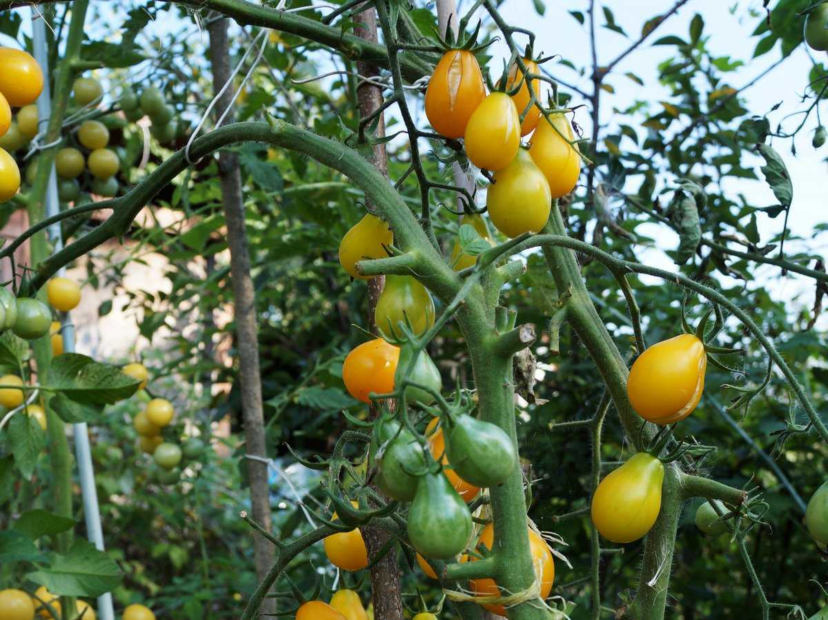 помидоры семена лучшие сорта отзывы