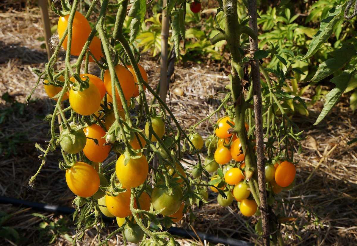 pomidory-cherri-foto-video-luchshie-sorta-opisanie-lichnyj-opyt-vyrashhivaniya-8