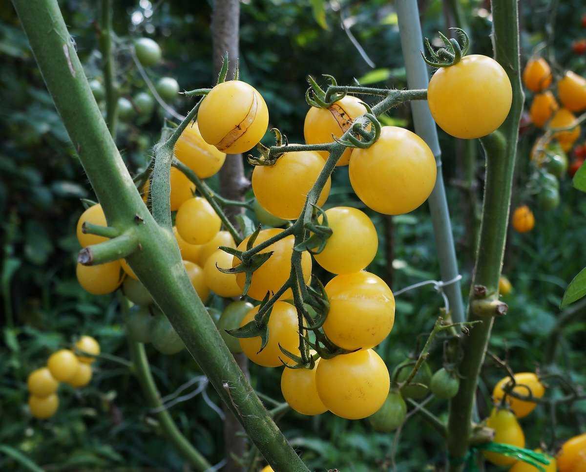 pomidory-cherri-foto-video-luchshie-sorta-opisanie-lichnyj-opyt-vyrashhivaniya-9