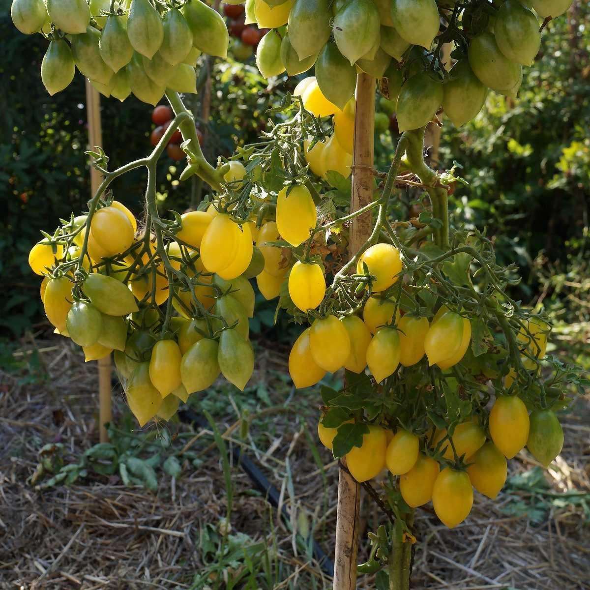 pomidory-cherri-foto-video-luchshie-sorta-opisanie-lichnyj-opyt-vyrashhivaniya-10