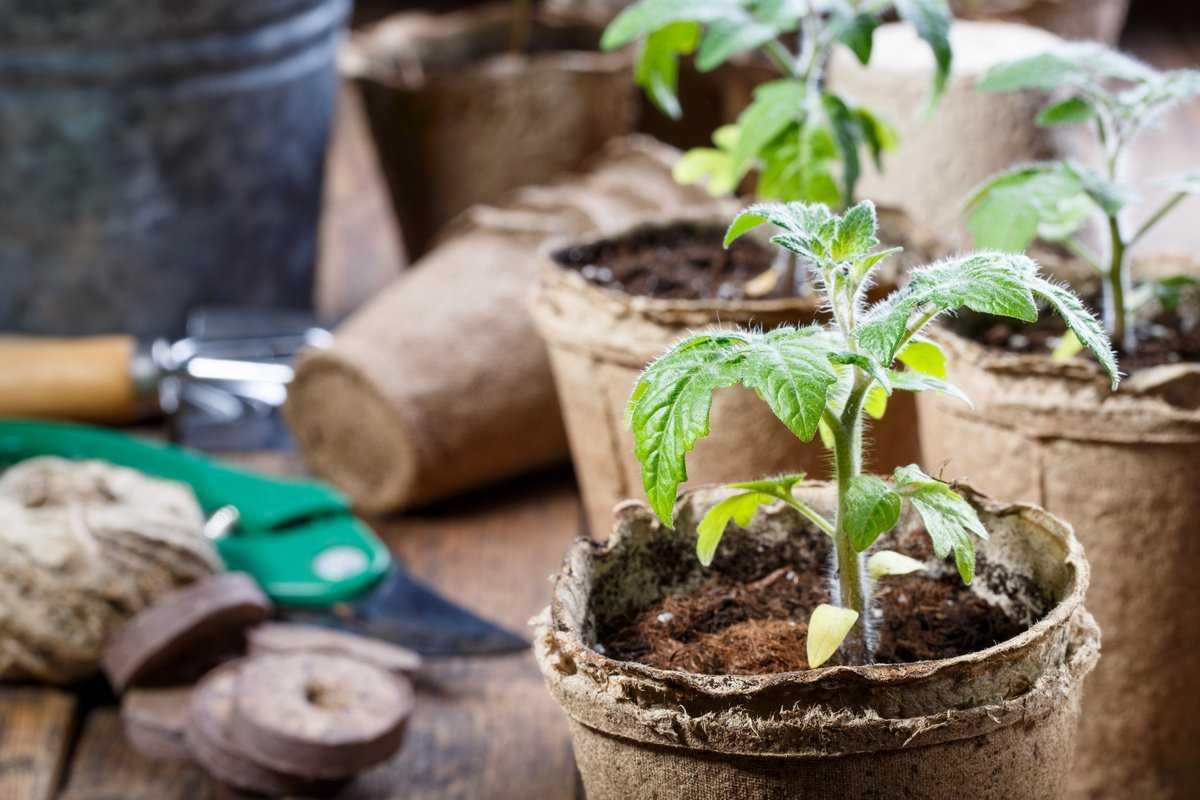 kak-vyrastit-rassadu-tomatov-doma-foto-video-sekret-uspeshnoj-rassady