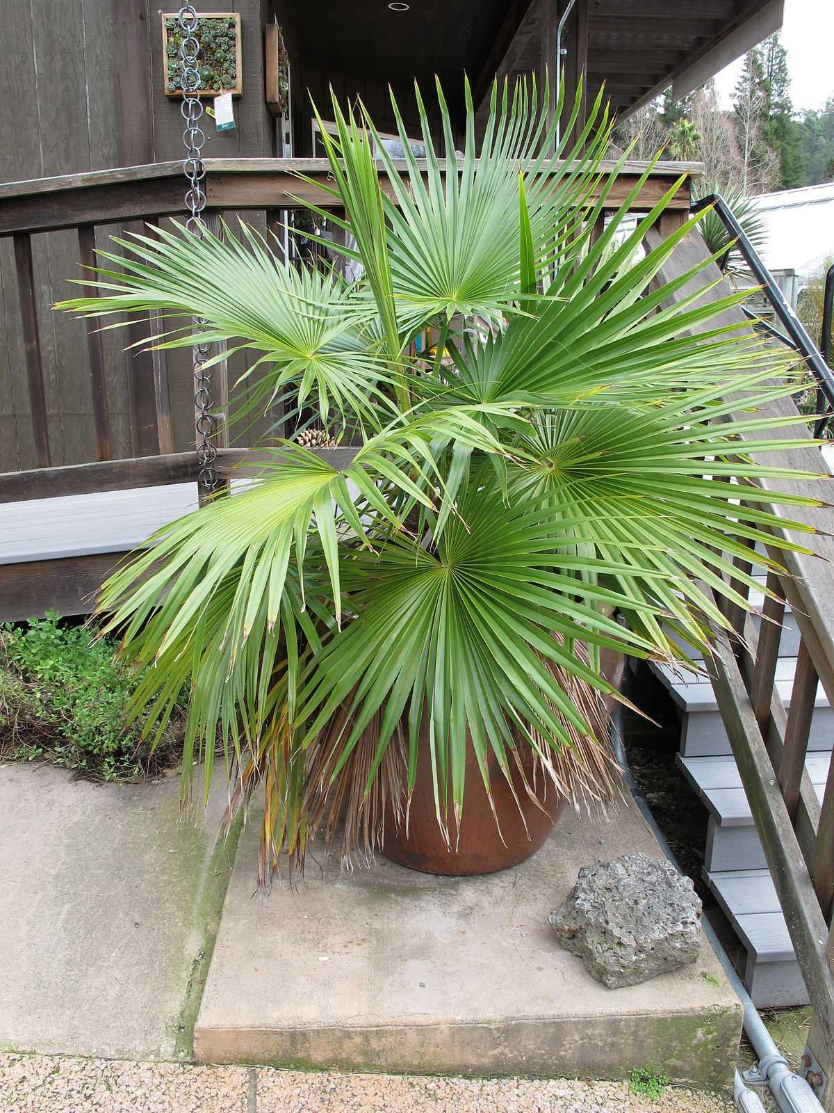 komnatnaya-palma-foto-video-vidy-palm-nazvanie-i-opisanie-rasteniya-8