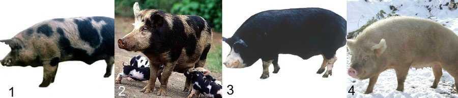 porody-svinej-foto-video-opisanie-harakteristika-otzyvy-3